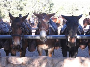 Mules_in_corral_PBC
