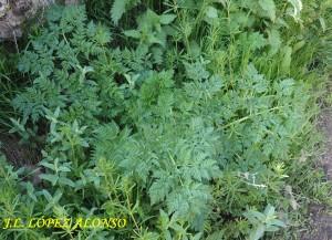 Plantas de cicuta