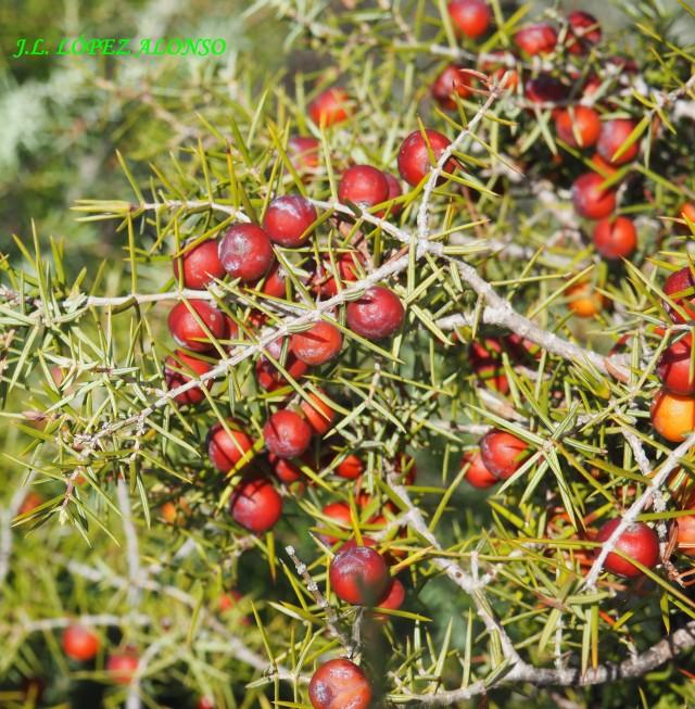Enebra (Juniperus oxycedrus)